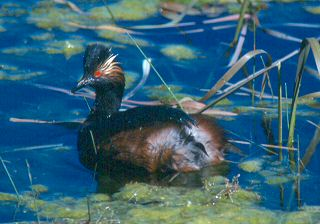 Eared Grebe. Photo by Barbara L. Davis