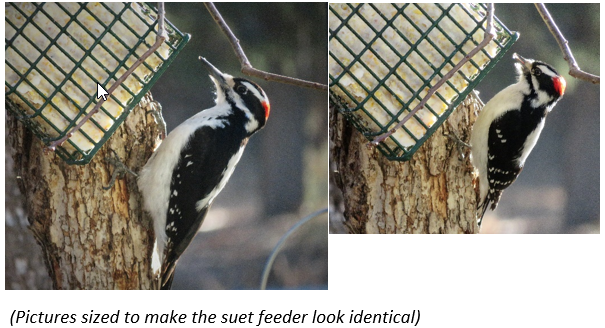 Hairy and Downy Woodpeckers